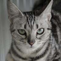 amylose du chat