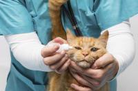 appliquer gouttes pour les yeux d un chat