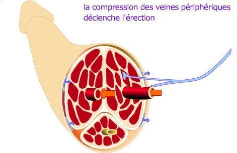 erection mecanisme4