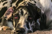 herpesvirose chien