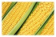 OGM: gare aux allergies?