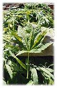 Le cannabis, entre partisans et détracteurs